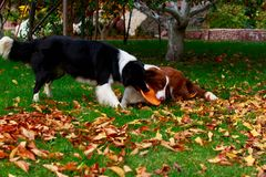 Two dogs Border Collie. Two dogs of breed Border Collie playing in frisby on the garden stock photos