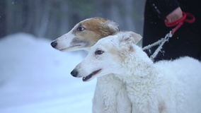 Two dogs Borzoi in winter forest. Two Borzoi dog on a leash in the winter forest stock video