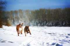 Two dogs of breed boxer fun run in the winter in nature, Royalty Free Stock Image