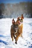 Two dogs of breed boxer fun run in the winter in nature, Royalty Free Stock Photo