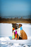 Two dogs of breed boxer sitting in the winter on snow, associate Royalty Free Stock Image