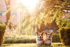 Two dogs breed Corgi in the Park. Two dogs of breed the Corgi in the Park under a tree at sunset royalty free stock images