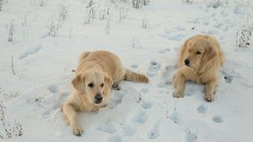 Two dogs breed golden retriever play in the snow.  stock video footage