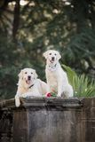 Two dogs of breed Golden Retriever, sitting on a dark background among the palm trees royalty free stock photo