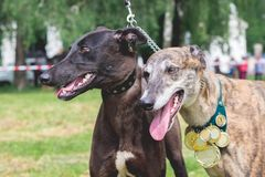 Two dogs of the breed greyhound with medals at the Dog Show_