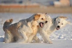 Two dogs breed labrador playing in the snow in the. Winter royalty free stock image