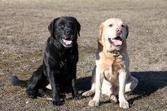 Two dogs of breed Labrador sitting on the lawn. Two adult male Retriever black and fawn coloured perform the `sit` command stock photography