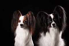 Two dogs of breed papillon Royalty Free Stock Image