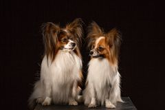 Two dogs of breed papillon on a black background royalty free stock photography