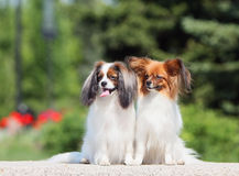 Two dogs of breed Papillon Phalen, and sit on the street. Two little dogs sitting. Papillon Phalen and sit outside. Two dogs watching stock image