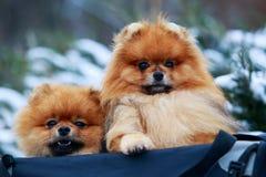 The dog breed pomeranian spitz. Two dogs breed pomeranian spitz sit in a bag royalty free stock photos