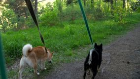 Two dogs on leashes go through the forest. Two dogs of a breed of a shiba go on a wood path stock footage