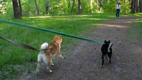 Two dogs on leashes go through the forest. Two dogs of a breed of a shiba go on a wood path stock video