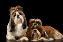 Two Dogs of breed shih-tzu on black background. Couple Dogs of breed shih-tzu on Isolated black background stock photo