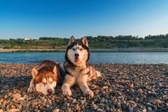 Two dogs breed siberian husky lie on shore river in warm summer sunny evening. Copy space stock images