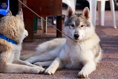 Two dogs breed Siberian Husky. Two dogs of Siberian Husky breed are lying on the asphalt path stock photo