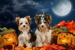 Two dogs sitting in halloween decoration Stock Images