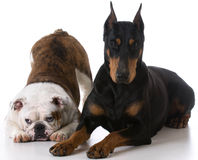 Two dogs Stock Photos
