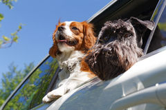 Two dogs in car Royalty Free Stock Photo