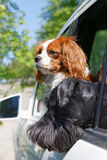Two dogs in car window Royalty Free Stock Photo