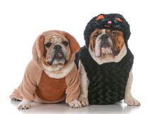 Dogs dressed like cat and dog. Two dogs in cat and dog costumes on white background Stock Photos