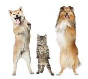 Two dogs and cat stand on hind legs Stock Photography