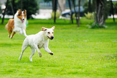 Two dogs chasing. Two dogs running and chasing on the lawn royalty free stock photo