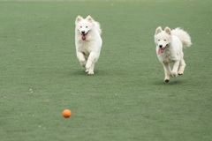 Two dogs chasing ball. Two dogs running and chasing a ball on the playground stock photography