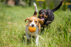 Two dogs chasing a ball. Beagle and rottweiler stock photo