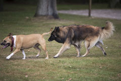 Two dogs chasing each other, Staffordshire bull terrier and Belgian Shepherd Tervuren Royalty Free Stock Images