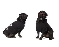 Two dogs with clothes Stock Images