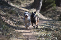 Two dogs competing who is faster. They are running in forest path stock photography