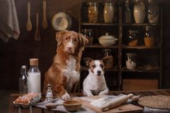 Two dogs are cooking in the kitchen. Pet at home. Nova Scotia Duck Tolling Retriever, Toller. Jack Russell Terrier Royalty Free Stock Image