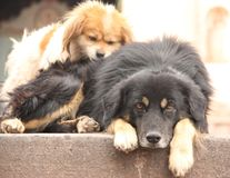 Two dogs in Cuzco. Two dogs are laying on the street in the city of Cuzco, Peru stock image