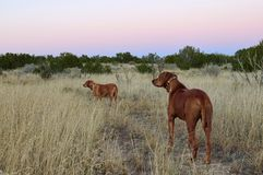 Two Rodisian Ridgebacks dogs in New Mexico high desert landscape. Two dogs in desert landscape Rodisian Ridgebacks have been used as `Lion Hunters` in Africa royalty free stock images