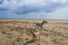 Two dogs on deserted beach. Lurcher and terrier dog on deserted beach with stormy sky Royalty Free Stock Photos