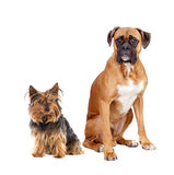 Two dogs of different breeds Stock Photos