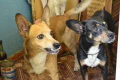 Two dogs. Two diffirent dogs waiting for food Royalty Free Stock Photo