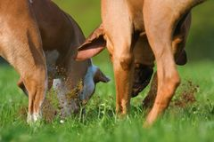 Two dogs digging in a meadow for something Stock Images