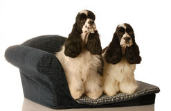 Two dogs on a doggy bed. Two american cocker spaniel dogs sitting on a doggy couch - matched pair Royalty Free Stock Photo