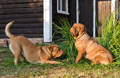 Two dogs of Dogue De Bordeaux playing Royalty Free Stock Photography