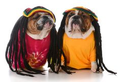 Two dogs with dreadlock. Two english bulldogs with dreadlocks on white background Stock Photography