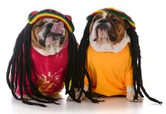 Two dogs with dreadlock royalty free stock photography