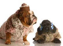 Two dogs dressed in fur coats Stock Photo