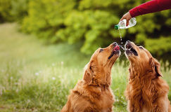 Two Dogs Drink Water Stock Photos