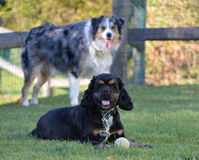 Two dogs Dugan and Bandit Stock Images