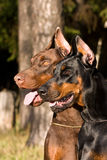 Two dogs face Royalty Free Stock Photo