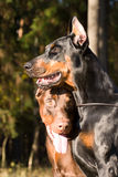 Two dogs face Royalty Free Stock Photography