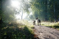 Two dogs - father and son - go to the rays of the sunrise... Stock Photo