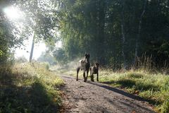 Two dogs - father and son - the rays of the rising sun! Stock Photo